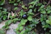 桑科植物:越橘葉蔓榕