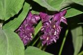 薑科植物...2:DSC_0676