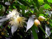 桃金孃科植物:蒲桃