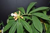 薑科植物...2:閉鞘薑(絹毛鳶尾)