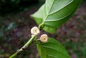 葉下株科植物:錫蘭饅頭果