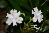 鳶尾科植物:日本鳶尾