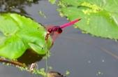 蜻蜓之吻:DSCN7513