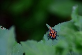 昆蟲篇...4:紅翅蠟蟬(終齡若蟲)