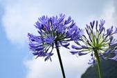 石蒜科植物:百子蓮...石蒜科