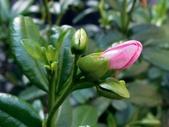 芸香科植物:古巴拉貝木
