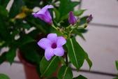 夾竹桃科植物  :橡膠紫茉莉