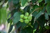 桑科植物:大對葉榕