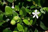 夾竹桃科植物  :卡利撒