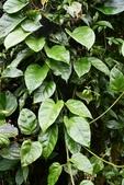 夾竹桃科植物  :台灣牛嬭菜