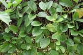 夾竹桃科植物  :爬森藤