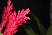 薑科植物...2:DSC_0554