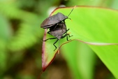 昆蟲篇...4:黃角椿象