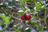 西印度櫻桃:DSC_0484