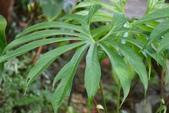 天南星科植物:鵝掌花燭