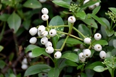 茜草科植物:拎壁龍
