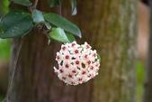 夾竹桃科植物  :毬蘭