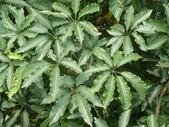五加科植物:鵝掌柴 (江某)
