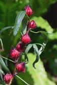 迷人的果實... 5:洛神葵