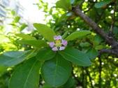 西印度櫻桃:DSCN2130