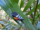 昆蟲篇...4:藍翅蠟蟬(青黑白蠟蟬)