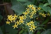 菊科植物:蔓黃苑