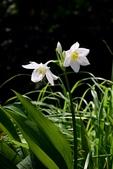 石蒜科植物:亞馬遜百合