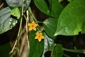夾竹桃科植物  :布朗藤