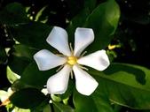 茜草科植物:山黃梔
