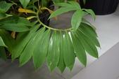 薑科植物...2:DSC_0701