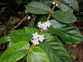 茜草科植物:圓葉雞屎樹