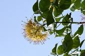 山柑科植物:加羅林魚木