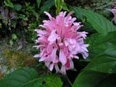爵床科植物 :串心花