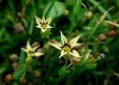 鳶尾科植物:黃花庭菖蒲