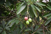 夾竹桃科植物  :海檬果