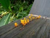 野生菇:桂花耳
