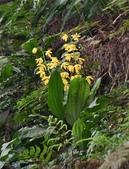 蘭科植物:黃根節蘭