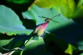 蜻蜓之吻:DSC_0102