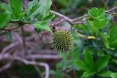 夾竹桃科植物  :小花黃蟬