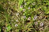 鳶尾科植物:鳶尾葉庭菖蒲
