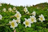 百合科植物:台灣百合