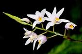 蘭科植物:台灣白及