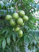 迷人的果實... 5:太平洋榅桲 (莎梨橄欖)