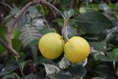 芸香科植物:柳橙