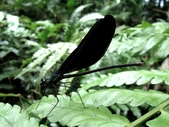 蜻蛉目:白痣珈蟌(雌)