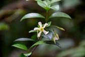 夾竹桃科植物  :細梗絡石