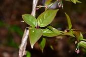清風藤科植物:阿里山清風藤