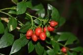 芸香科植物:月橘
