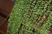 夾竹桃科植物  :百萬心