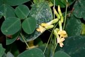 豆科 / 蝶形花亞科:台灣山黑扁豆